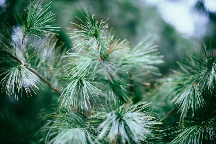 pexel-close-up-photography-of-green-pine-tree