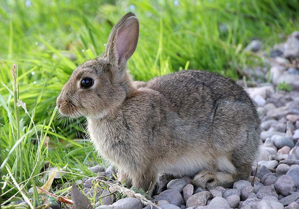 pixabay-rabbit