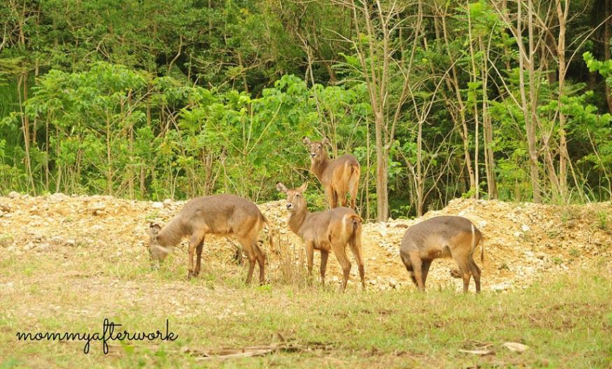 Cebu Safari_Antelopes
