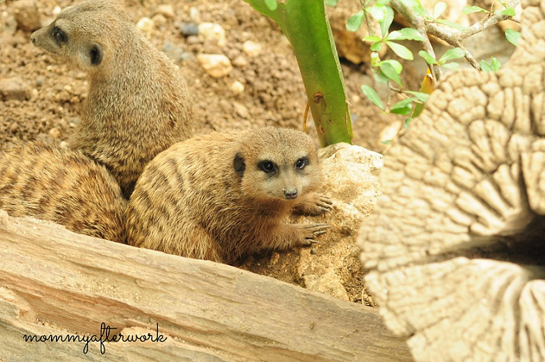 Cebu Safari_Meerkat
