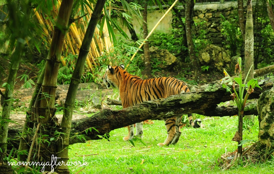 Cebu Safari_Tiger