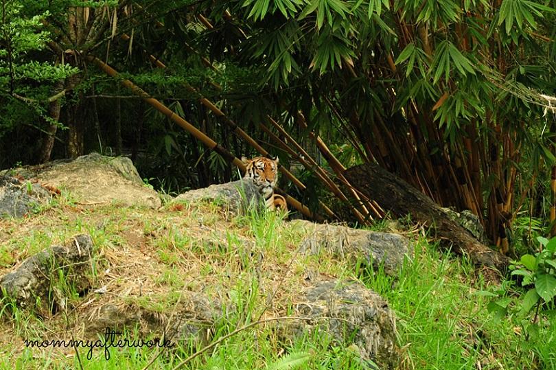 Cebu Safari_Tiger2
