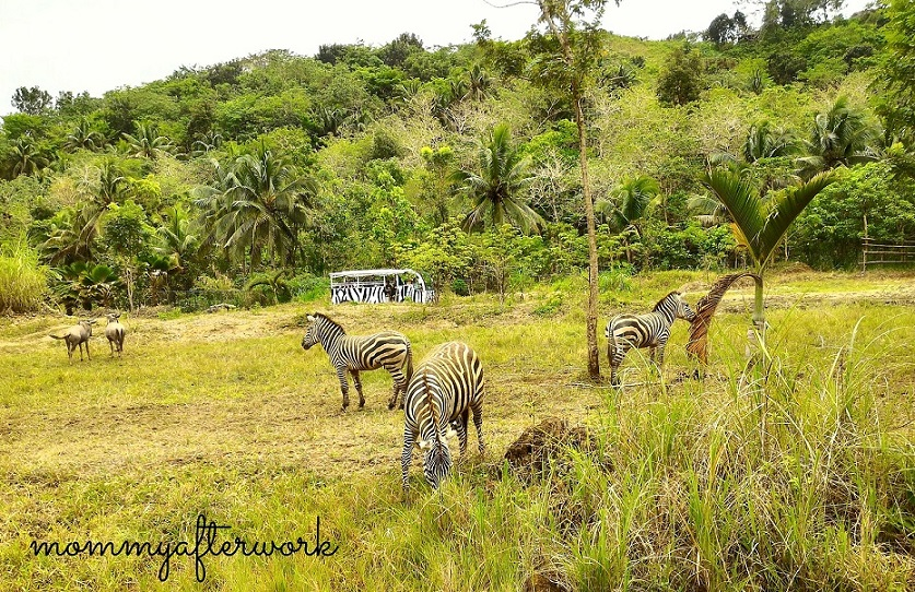 Cebu Safari_Zebras