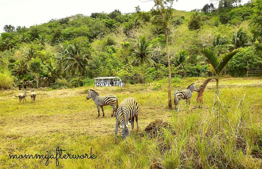 Cebu Safari_Zebras
