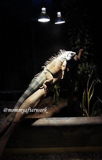Cebu Ocean Park Iguana